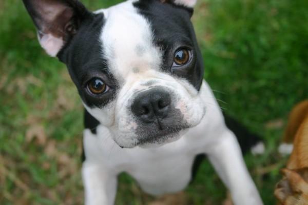 Подросший щенок бостон-терьера