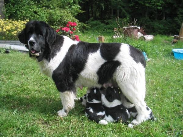 Ландсир с щенками