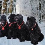 Черные терьеры зимой в лесу
