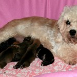 Денди-динмонт терьер с щенками