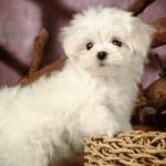Мальтийская болонка. Фото белоснежного ангела мальтезе