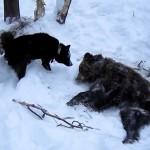 Русско-европейская лайка охота на медведя