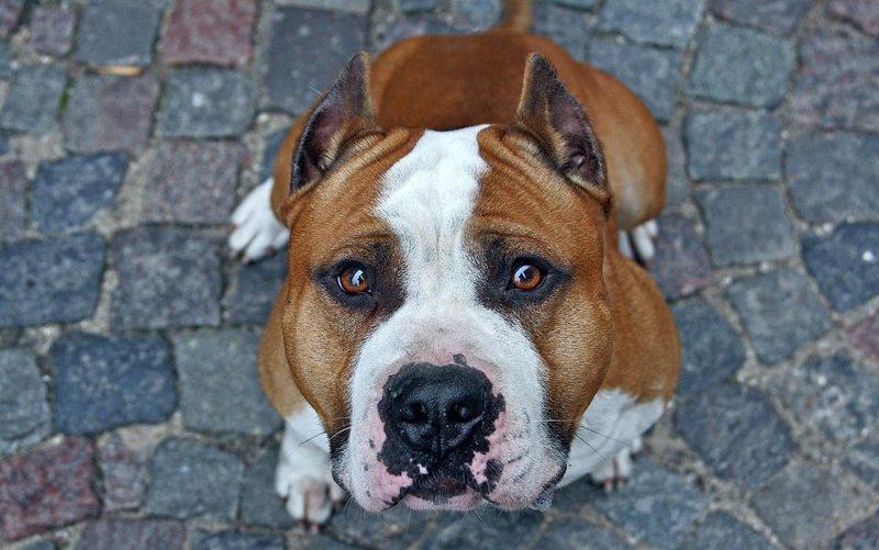 американский стаффорд щенок