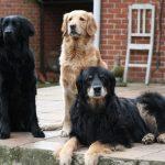 Три собаки породы ховаварт