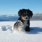 Бернский зенненхунд бежит по снегу