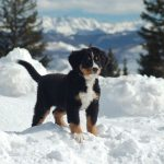 Бернский зенненхунд щенок зимой
