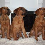 Три щенка Тоса-ину