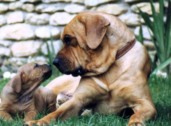Тоса- с щенком