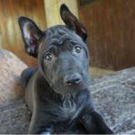 Тайский риджбек щенок