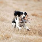 Английский спрингер-спаниель на охоте с добычей
