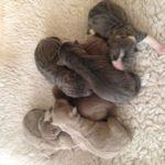 Щенки шарпея новорожденные
