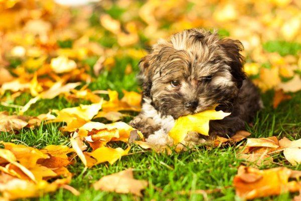 Русская цветная болонка щенок грызет листик лежа на траве