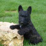 Шотландский терьер или скотч-терьер черного окраса поставил передние лапы на камень