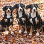 Три Энтлебухер зенненхунда осенью