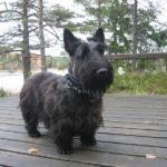 Шотландский терьер или скотч-терьер черный стоит на деревянном настиле