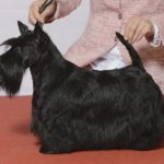 Шотландский терьер или скотч-терьер черного окраса на выставке