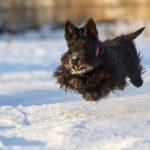 Шотландский терьер или скотч-терьер в прыжке зимой