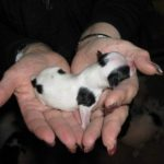 Новорожденный щенок Японского хина в ладонях