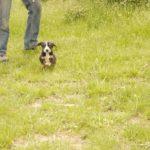 Энтлебухер зенненхунд маленький щенок в траве