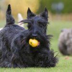 Шотландский терьер или скотч-терьер с мячиком во рту