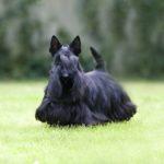 Шотландский терьер или скотч-терьер черного окраса на лужайке