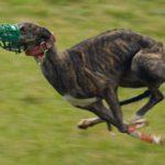 Грейхаунд или английская борзая участвует в собачьих бегах