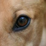 Грейхаунд или английская борзая глаз