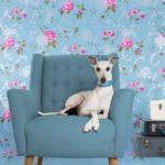 Уиппет или малая английская борзая сидит в голубом кресле