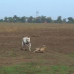 Грейхаунд или английская борзая догоняет зайца на охоте