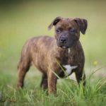 Стаффордширский бультерьер щенок в траве