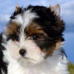 Бивер йоркширский терьер щенок портрет