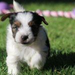Бивер йоркширский терьер бежит по лужайке щенок