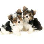 Бивер йоркширский терьер два щенка на белом фоне