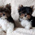 Бивер йоркширский терьер два щенка